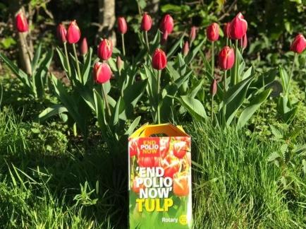 End Polio Now Tulpen